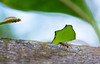 Ant @ Work - Guadeloupe (eschborn.photography) Tags: eschborn eschbornphotography vacation antilles antillen caribbean karibik french animal insect insekt tier tierchen kleintier ameise blätter baum tree nature small klein close up nah walking transportieren tragen carry