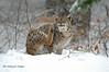 Lince _006 (Rolando CRINITI) Tags: lince felini bayerischerwaldnationalpark neve germania natura libertàcontrollata mammiferi