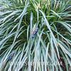 Ophiopogon jaburon (SUBENUIX) Tags: asparagaceae ophiopogonjaburon suculentas subenuix subenuixcom planta suculent suculenta botanic botanical