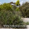 Puya chilensis (SUBENUIX) Tags: bromeliaceae puyachilensis suculentas subenuix subenuixcom planta suculent suculenta botanic botanical