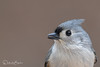 Portrait of a Titmouse (dbifulco) Tags: nature bird birds newjersey wildlife winter animal close up portrait tufted titmouse outdoors