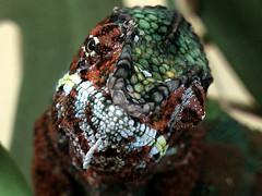 Chamäleon (robárt shake) Tags: chamäleon tier animal bunt nahaufnahme male männlich echse farbwechsel
