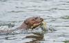 Giant River Otter (tickspics ) Tags: amazonbasin cochasalvador giantotter giantriverotter iucnredlistendangered manú manúbiospherereserve manúnationalpark otter peru pteronurabrasiliensis southamerica tropicalrainforest