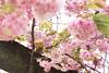 Pretty in Pink (Arielle.Nadel) Tags: danboard danbo spring toyphotography yotsuba