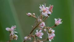 fragile like porcelain - Zerbrechlich wie Porzellan (ralfkai41) Tags: makro plant macro pflanze garden zerbrechlich blüte garten blume flower fragile blossom natur nature