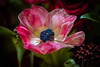 Beautiful flower ... (Julie Greg) Tags: detail pink blue macro flower colour details nature