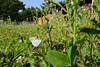 Lepidea amurensis (hyroki) Tags: lepidea lepideaamurensis チョウ 蝶 シジミチョウ butterfly pieridae