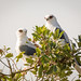 White-tailed+Kites