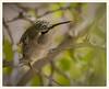 Hummingbird in Repose (gauchocat) Tags: costashummingbird tucsonmountains tucsonarizona