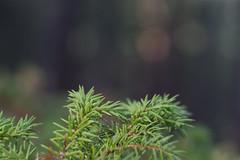 Pine Bokeh (ianfbaltz) Tags: colorado pine pines bokeh woods helios