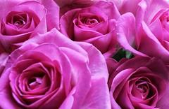 Bunch of pink roses!🌹😀🌹😀 (LeanneHall3 :-)) Tags: pink roses rose flower flowerarebeautiful flowersarefabulous flowerflowerflower closeupphotography closeup rosepetal petals hull kingstonuponhull canon 1300d conversionlens