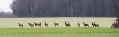 Harde de cerfs (Richard Holding) Tags: cerf champ chasse deer eure field m43 normandie normandy olympus omd