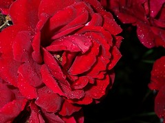 La rosa dell'amore.... (libra1054) Tags: rosen rosas roses liebe amore amour amor love rosso rojo rot rouge red vermelho droplets goccedipioggia gotasdelluvia gouttesdepluie raindrops regentropfen gotasdechuva macro fiori flores flowers fleurs blumen flora nature natura outdoor