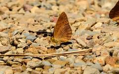 Small Leopard (Phalanta alcippe) (Steve Arena) Tags: bug bugs butterfly butterflies httpthailandbirding2017blogspotcom thailandbirding2017 thailandhttpthailandbirding2017blogspotcom2017 nikon d750 2017 kaengkrachan kaengkrachannationalpark tenasserimmountainrange huaimaepriang phetchaburi petchaburi phalantaalcippe smallleopard