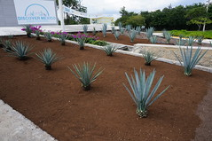 """Agave Plants at Discover Mexico Park • <a style=""""font-size:0.8em;"""" href=""""http://www.flickr.com/photos/28558260@N04/38172825625/"""" target=""""_blank"""">View on Flickr</a>"""