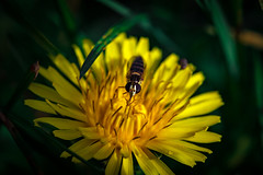 Wasps and dandelions .. (Julie Greg) Tags: wasps dandelions nature flower park macro