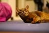 Lizzie (DizzieMizzieLizzie) Tags: abyssinian aby beautiful wonderful lizzie dizziemizzielizzie portrait cat chats feline gato gatto katt katze katzen kot meow pisica sony animal pet 2017 cute yellow neko macska kedi 猫 kočka kissa γάτα köttur kucing kaķis katė кошка mačka gatos kitteh chat ネコ beauty a6500 zeiss 55mm ilce6500 ilce sel55f18z sonnar awesome digital golden style