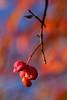Deadly temptation (Thomas Roland) Tags: benved red rød orange euonymus europaeus closeup macro makro detail detalje green grøn sjælland zealand denmark danmark skov forest colour colourful autumn efterår october oktober simple ryegård dyrehave ejby