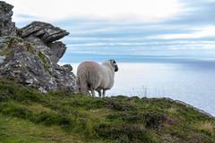Ireland - Slieve League Cliffs (Marcial Bernabeu) Tags: ireland irlanda irish irlandes irlandés irlandesa sheep oveja acantilado acantilados cliffs slieve league sea ocean horizon mar oceano océano horizonte marcial bernabeu bernabéu donegal marc