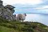 Ireland - Slieve League Cliffs (Marcial Bernabeu) Tags: ireland irlanda irish irlandes irlandés irlandesa sheep oveja acantilado acantilados cliffs slieve league sea ocean horizon mar oceano océano horizonte marcial bernabeu bernabéu donegal