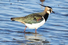 Fredeluga (Enllasez - Enric LLaó) Tags: aves aus bird ocells pájaros 2017 delta deltadelebre deltadelebro fredeluga avefría b700