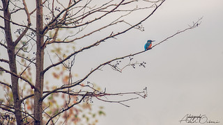 A Kingfisher look