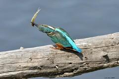Blauet (Enllasez - Enric LLaó) Tags: blauet blau martinpescador sebes flix 2014 aves aus bird ocells pájaros
