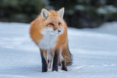 Red fox (Joe Branco) Tags: nikond750 nikon winter snow nature wildlifephotography lightroomcc2017 photoshopcc2018 joebrancophotography branco joe redfox wildlife green