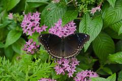Female Jacintha Eggfly ----- Hypolimnas bolina jacintha (creaturesnapper) Tags: singapore butterflies lepidoptera asia nymphalidae hypolimnasbolinajacintha jacinthaeggfly