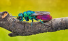 Cuckoo wasp (Can Tunçer) Tags: can cantunçer cantuncer canon canon6d closer 60d macro makro macros macrophotography micro mikro makros mpe65mm mpe65