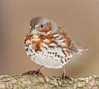 Fox Sparrow (tresed47) Tags: 2017 201712dec 20171210homebirds birds canon400mmf56l canon7d chestercounty content december fall folder foxsparrow home march pennsylvania peterscamera petersphotos places season sparrow takenby us winter ngc