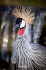 East African Crowned Crane (ToddLahman) Tags: eastafricancrownedcrane crowned crane african safaripark sandiegozoosafaripark safaritram safari canon7dmkii canon canon100400 closeup bird birds beautiful outdoors escondido eyelock