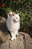 _MG_3632.jpg (qitsuk) Tags: sicily italy panarea eolianislands cat feline