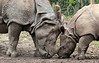 indian rhino Namaste and Karuna Blijdorp BB2A0758 (j.a.kok) Tags: rhino rhinoceros indischeneushoorn indianrhinoceros pantserneushoorn neushoorn blijdorp namaste karuna mammal asia azie zoogdier dier animal moederenkind motherandchild