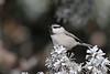 Mountain Chickadee (Alan Gutsell) Tags: bird photo canon wildlife nature sandia crest newmexico mountain snow chickadee mountainchickadee songbird
