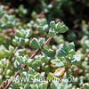 Lampranthus deltoides-5 (SUBENUIX) Tags: aizoaceae lampranthusdeltoides suculentas subenuix subenuixcom planta suculent suculenta botanic botanical