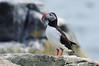 Pulcinella di mare (kmclaudio) Tags: pentaxart uccello bird iceland islanda isafiordur mare scogli pesci fish