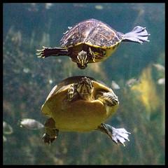 Turtles at Cincinnati Zoo (MrsKBad) Tags: turtles cincinnatizoo