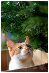 <3 (Besia-natka) Tags: cat newyear wishes xmastree christmas christmastree tree ginger box bokeh