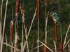 Kingfisher (Female) (ukstormchaser (A.k.a The Bug Whisperer)) Tags: kingfisher kingfishers uk birds animal animals wildlife milton keynes buckinghamshire january winter female perched reed reeds