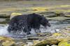 Clarke_170816_5541.jpg (www.raincoastphoto.com) Tags: ursusamericanus canadianwildlife britishcolumbiawildlife mammals blackbear northamericanwildlife britishcolumbia canada
