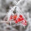 Frosted berries (++sepp++) Tags: bayern deutschland lechfeld länder rauhreif winter nahaufnahme graben de closeup hoarfrost früchte fruits beeren berries rot red