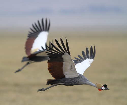 Blue Crowned Cranes flying , Ngorogoro Crater,  Tanz rudy7DIMG_5355