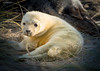 Cute Horsey seal pup (jerry_lake) Tags: 17xteleconverter horsey horseyseals lightroom61 nikon300mm norfolk newborn sealpup