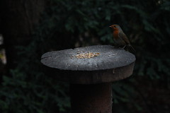 Robin 2 (umphotography) Tags: swans rufford park abbey nottinghamshire mansfield ollerton a614