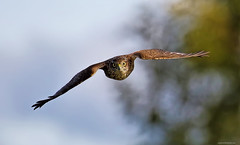 Really pleased that this image has been included in the Flickr curated gallery ` Your Best Shot 2017 : Birds ` . (stejones18) Tags: hawk sarrowhawk raptor bird prey