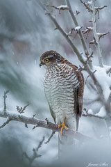 The Sparrowhawk (janne.skei) Tags: sparrowhawk hawk bird animal alone snow winter hungry beautiful background beautifulexpression closeup eyes wildlife january lovely magic moment mysterious nature norway ngc norge nice neighborhood nosy outdoor olympus raw surnadal theunforgettablepictures tree white wild woods