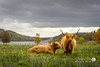 Highland Cows (Jean D. Photography) Tags: highland highlands cow cattle brown farming scotland nature uk sony alpha alpha7ii a7ii fe sonypictures landscape trossachs pasture hairy 55mm zeiss zeiss55mm