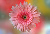 Angel in Your Head (12bluros) Tags: pink gerbera flower flora floral macro canonef100mmf28lmacroisusm