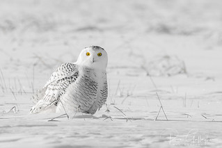Snowy Owl  (Black and White Color Splash)